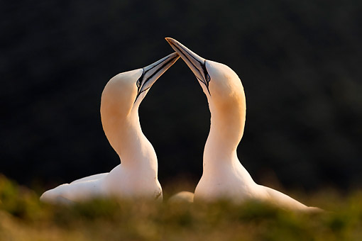 BRD 04 AC0025 01 © Kimball Stock Northen Gannets Being Romantic, Germany