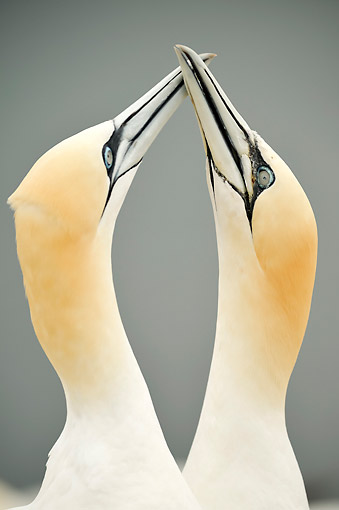 BRD 04 AC0026 01 © Kimball Stock Northen Gannets Being Romantic, Germany