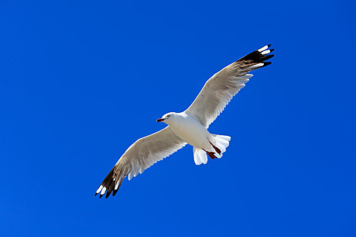 BRD 04 AC0028 01 © Kimball Stock Silver Gull Flying In West Lakes Shore, Australia