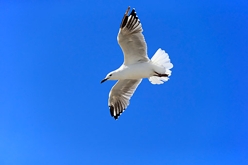 BRD 04 AC0029 01 © Kimball Stock Silver Gull Flying In West Lakes Shore, Australia