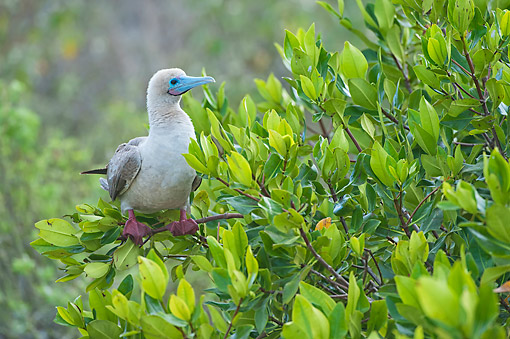BRD 04 AC0035 01 © Kimball Stock Red-Footed Booby Perching In Red Mangrove Tree, Galapagos Islands, Ecuador