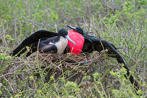 BRD 04 AC0039 01 © Kimball Stock Great Frigatebirds Sitting In Nest, Galapagos Islands, Ecuador