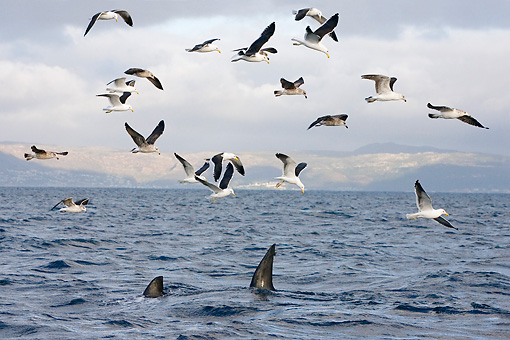 BRD 04 KH0007 01 © Kimball Stock Flock Of Kelp Gulls Flying Over Ocean And Great White Shark