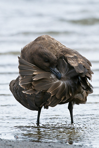 BRD 04 KH0008 01 © Kimball Stock Brown Skua Preening In Shallow Water Antarctica