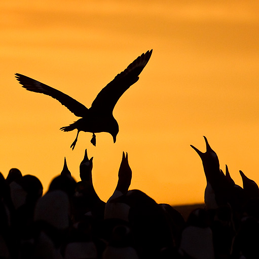 BRD 04 KH0013 01 © Kimball Stock Silhouette Of Brown Skua Flying Over Colony Of Gentoo Penguins Falklands