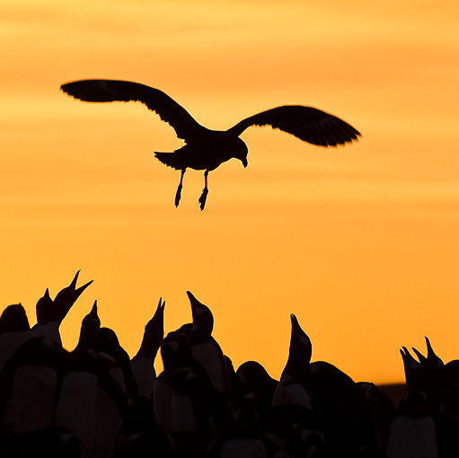 BRD 04 KH0014 01 © Kimball Stock Silhouette Of Brown Skua Flying Over Colony Of Gentoo Penguins Falklands