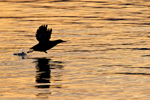 BRD 04 KH0027 01 © Kimball Stock Silhouette Of Black Guillemot Taking Off From Surface Of Sea Under Midnight Sun Svalbard