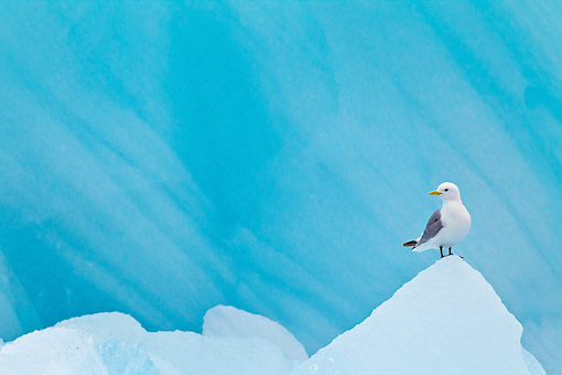 BRD 04 KH0028 01 © Kimball Stock Black-Legged Kittiwake Resting On Blue Iceberg Svalbard