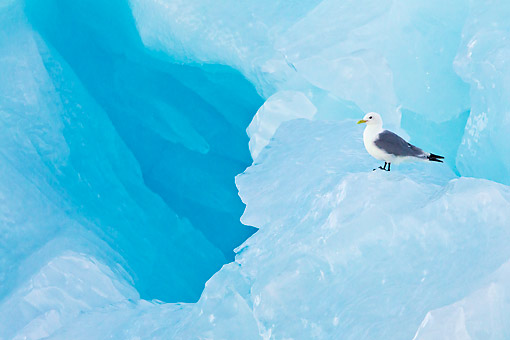 BRD 04 KH0029 01 © Kimball Stock Black-Legged Kittiwake Resting On Blue Iceberg Svalbard
