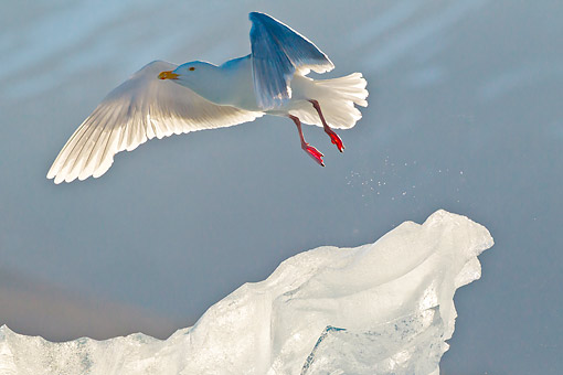 BRD 04 KH0030 01 © Kimball Stock Glaucous Gull Flying Over Iceberg Svalbard