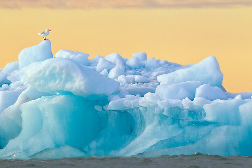 BRD 04 KH0033 01 © Kimball Stock Glaucous Gull Standing On Iceberg Under Midnight Sun Svalbard