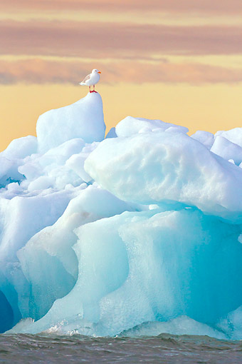 BRD 04 KH0034 01 © Kimball Stock Glaucous Gull Standing On Iceberg Under Midnight Sun Svalbard