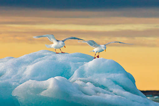 BRD 04 KH0039 01 © Kimball Stock Glaucous Gulls Resting On Iceberg In Midnight Sun Svalbard