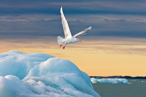 BRD 04 KH0040 01 © Kimball Stock Glaucous Gull Flying Over Iceberg In Midnight Sun Svalbard