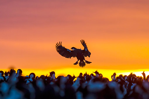 BRD 04 KH0042 01 © Kimball Stock Silhoutte Of Imperial Shag Landing In Flock At Sunset In Falkland Islands