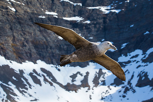 BRD 04 KH0046 01 © Kimball Stock Southern Giant Petrel In Flight South Georgia, Antarctica