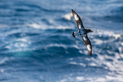 BRD 04 KH0047 01 © Kimball Stock Cape Petrel Flying Over Ocean In South Georgia, Antarctica
