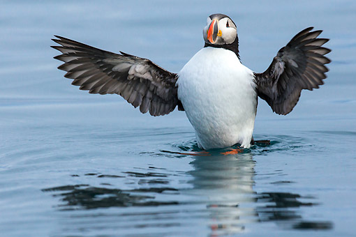 BRD 04 KH0049 01 © Kimball Stock Atlantic Puffin Flapping Wings On Surface Of Water Svalbard