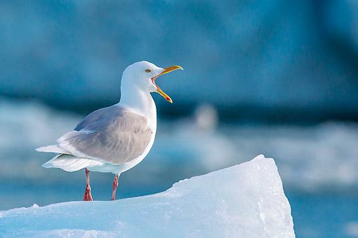 BRD 04 KH0053 01 © Kimball Stock Glaucous Gull Perched On Iceberg Vocalizing In Svalbard, Norway