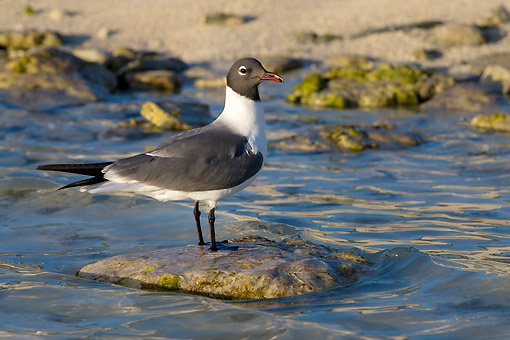 BRD 04 KH0056 01 © Kimball Stock Laughing Gull Standing On Rock In Bahamas
