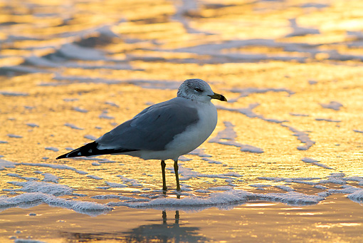 BRD 04 LS0001 01 © Kimball Stock Wintering Ring-Billed Gull Standing On Beach At Sunset Pinellas County, Florida