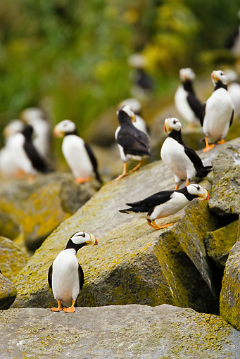 BRD 04 MC0001 01 © Kimball Stock Horned Puffins Standing On Lichen Covered Rocks Alaska