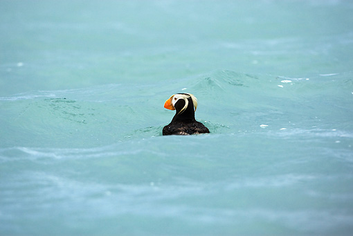 BRD 04 MC0002 01 © Kimball Stock Tufted Puffin Floating In Ocean Alaska