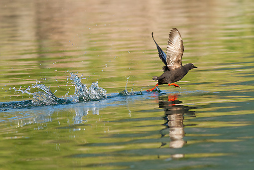 BRD 04 MC0006 01 © Kimball Stock Pigeon Guillemot Taking Off From Water Geographic Harbor, Katmai National Park, Alaska