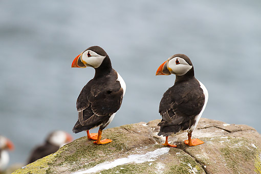 BRD 04 MC0008 01 © Kimball Stock Atlantic Puffins In Nesting Colony At Farne Islands, Great Britain