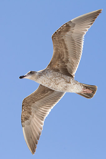 BRD 04 MC0011 01 © Kimball Stock Glaucous-Winged Gull Flying In Baja California, Mexico