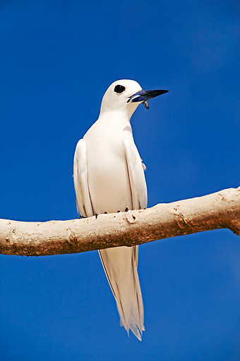 BRD 04 MH0004 01 © Kimball Stock Close Up Of White Tern Perching On Branch