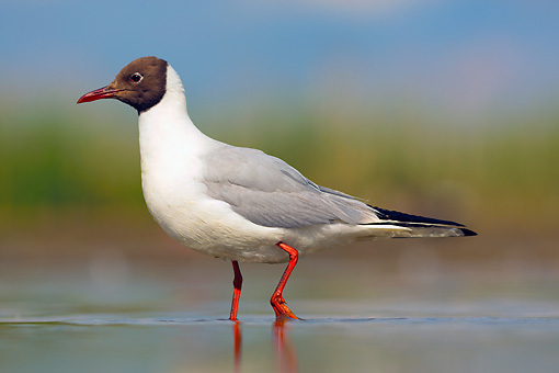 BRD 04 MH0006 01 © Kimball Stock Black-Headed Gull Standing In Shallow Water