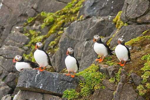 BRD 04 SK0002 01 © Kimball Stock Flock Of Atlantic Puffins Standing On Rocks Covered With Lichen
