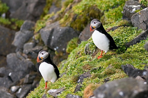 BRD 04 SK0004 01 © Kimball Stock Two Atlantic Puffins Standing On Rocks Covered With Lichen