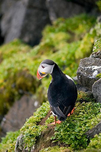 BRD 04 SK0006 01 © Kimball Stock Atlantic Puffin Standing On Rock Covered With Lichen