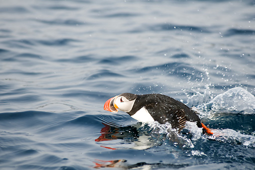 BRD 04 SK0014 01 © Kimball Stock Atlantic Puffin Swimming In Ocean