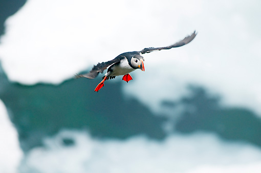 BRD 04 SK0015 01 © Kimball Stock Atlantic Puffin Flying In Sky