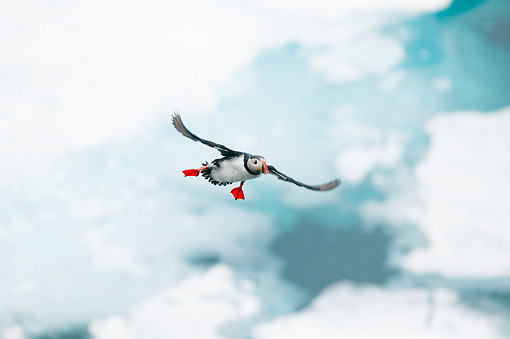 BRD 04 SK0016 01 © Kimball Stock Atlantic Puffin Flying In Sky