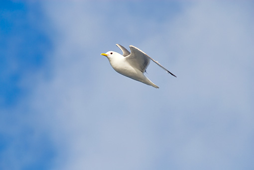BRD 04 SK0021 01 © Kimball Stock Seagull In Flight