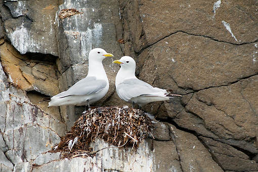 BRD 04 SK0022 01 © Kimball Stock Two Seagulls Standing On Nest On Rocky Cliff