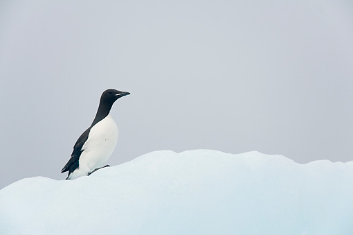 BRD 04 SK0023 01 © Kimball Stock Thick-billed Murre (aka Brunnich's Guillemot) Standing On Sea Ice