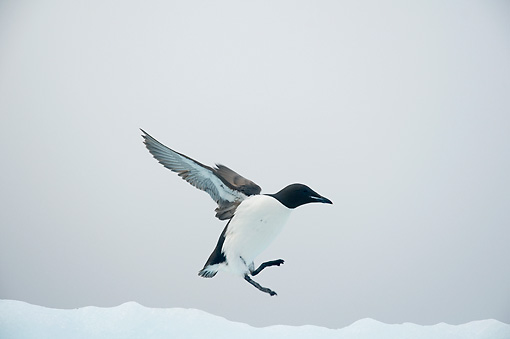 BRD 04 SK0024 01 © Kimball Stock Thick-billed Murre (aka Brunnich's Guillemot) Landing On Sea Ice