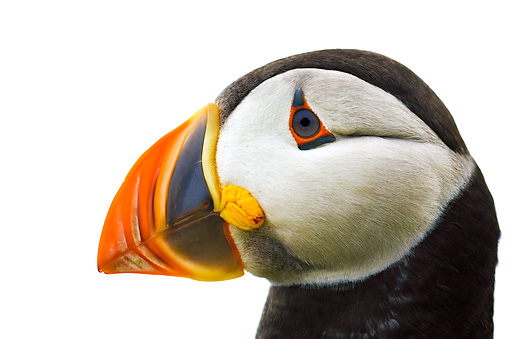 BRD 04 TK0001 01 © Kimball Stock Head Shot Of Atlantic Puffin