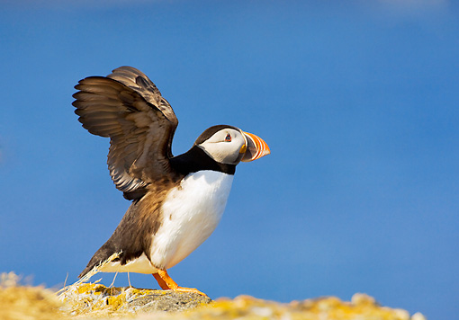 BRD 04 TK0003 01 © Kimball Stock Atlantic Puffin Standing On Rock Flapping Wings