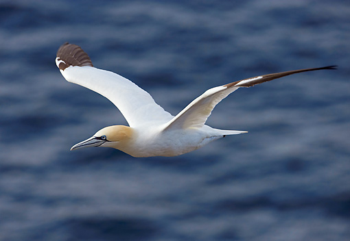 BRD 04 WF0003 01 © Kimball Stock Northern Gannet In Flight Over Water