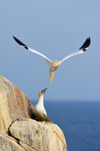 BRD 04 WF0005 01 © Kimball Stock Northern Gannet Flying Over Bird Nesting On Clifftop