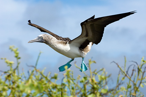 BRD 04 WF0012 01 © Kimball Stock Blue-Footed Booby In Landing Approach