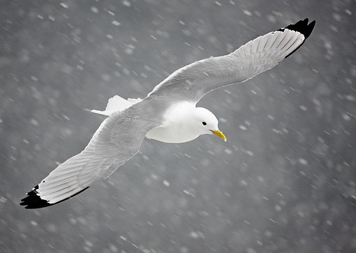 BRD 04 WF0015 01 © Kimball Stock Black-Legged Kittiwake In Flight Through Falling Snow