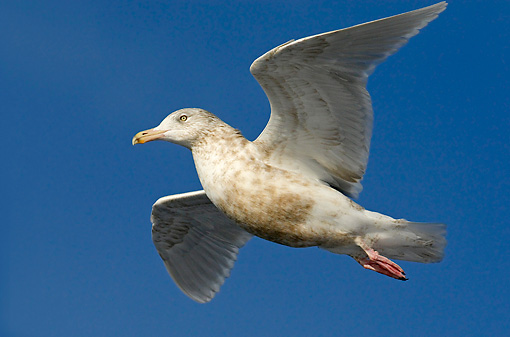 BRD 04 WF0016 01 © Kimball Stock Young Glaucous Gull In Flight
