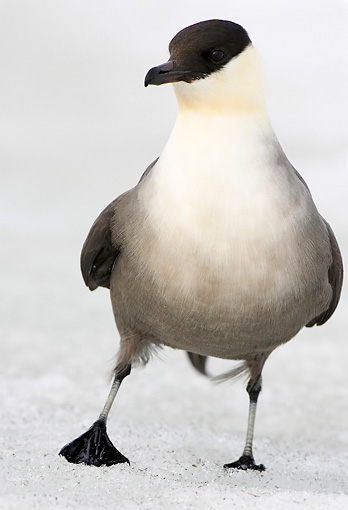BRD 04 WF0017 01 © Kimball Stock Long-Tailed Skua Standing On Melting Ice